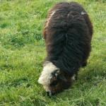 Cyrhlańskie owce